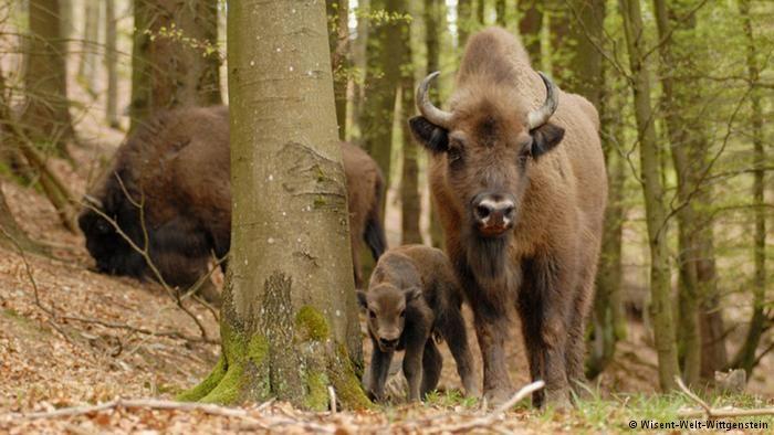 European bison in the Rothaar Mountains, Germany (Photo: Wisent-Welt-Wittgenstein)