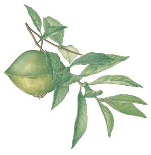 Artigo sobre a fruta Cambuci, onde ela pode ser encontrada, benefícios para a saúde, características, nutrientes, etc.