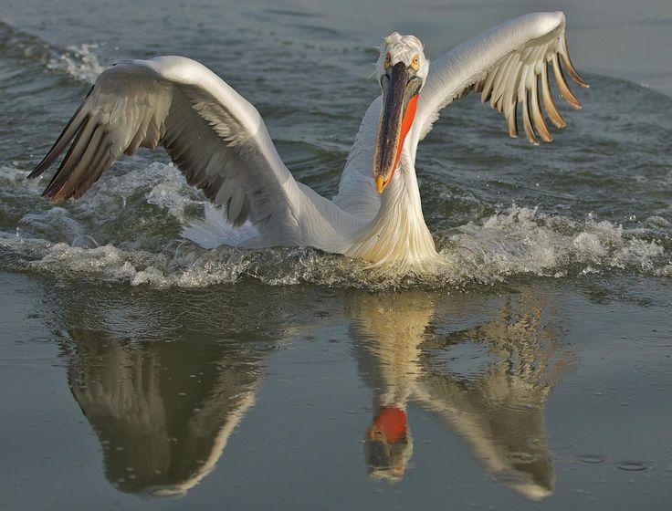 Pelican on Lake Kerkini Serres in Macedonia northern Greece