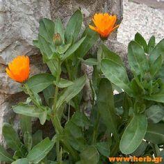 Ουλίτιδα και βότανα