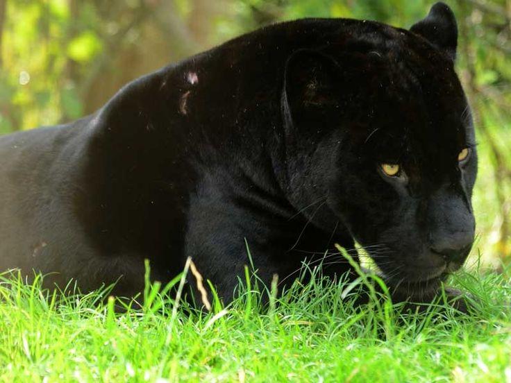 Panther Sanctuaries in India @ Sanctuariesindia.com
