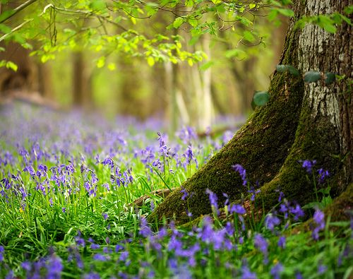 Fields Of Flower, Bluebell Wood, Vintage Home, Fairies Trees, Beautiful, English Bluebell, Reading A Book, Summer Flower, Purple Flower