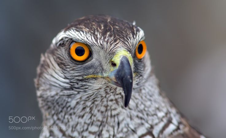 The fire eyes - Portrait of the nothern goshawk.    The largest hawk in our region. Old birds have red color eyes. Very serious bird. Their female looks approximately twice more than the male hawk and can easy kill him if she doesn't like something. So her husband should be always polite and agree with his powerful spouse... Henpecked husband fate isn't easy... :)