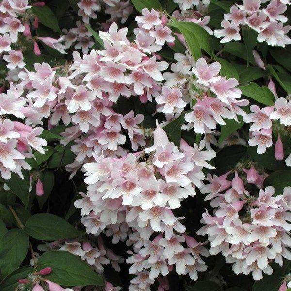 Paradisbuske, Kolkwitzia amabilis   Zon 1-5. Får en riklig mängd rosa blommor under försommaren. Växer snabbt upp till en stor och ståtlig buske. Blommar juni-juli.