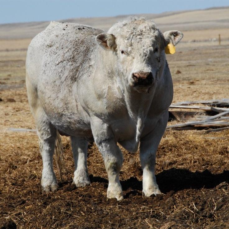 world's best charolais cattle - Another impressive bull!!