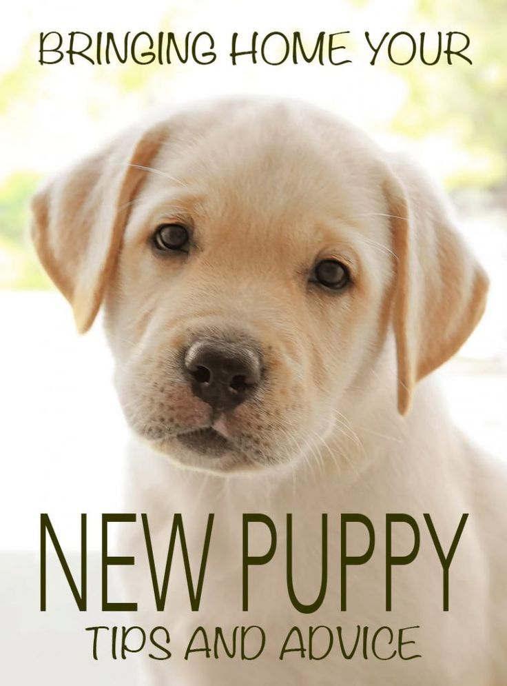 Bringing Home A New Puppy First Night Survival Tips Included First Night With Puppy Labrador Retriever New Puppy