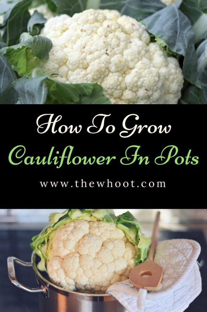 How To Grow Cauliflower In Pots At Home Growing Cauliflower