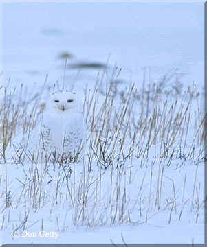 Snowy Owl in Manitoba