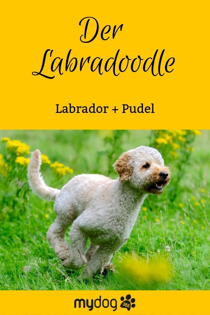 Labra Was Nein Hier Handelt Es Sich Nicht Um Ein Seltenes Pokemon Sondern Um Eine Kreuzung Aus Labrador Und Pude Labradoodle Hunde Rassen Labradoodle Hund