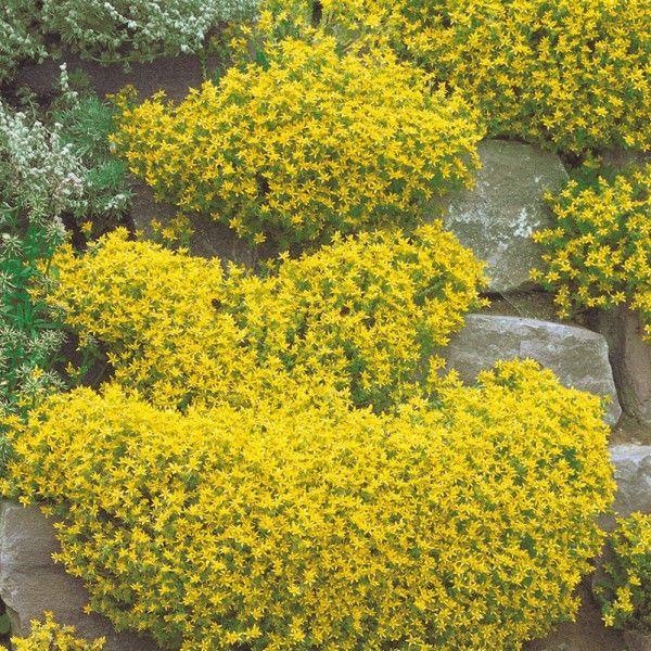 Pflanzen-Kölle Scharfer Mauerpfeffer gelb, 9 cm Topf.  Leuchtend gelbe Blüten sorgen für zauberhafte Farbtupfer im Staudenbeet oder im Steingarten.