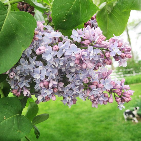 Incorporate sweet Lilac for a fragrance-filled garden! See more early-season flowers: http://www.bhg.com/gardening/flowers/perennials/early-blooming-flowers/?socsrc=bhgpin040113lilac=7