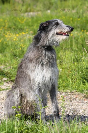 sottish deerhound phot | Scottish Deerhound / Schottischer Hirschhund