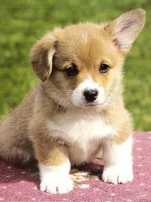 Corgi Puppy- love the one floppy ear :-)