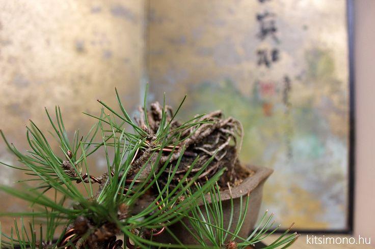 """Pinus shohin bonsai tálba ültetése - Pinus shohin bonsai tálba ültetése. Kis fákról nagy dolgokat mondani vagy írni nehéz és nem csak nehéz, de nem cél. Nincs """"bonsai lesson misszió"""" csak némi shohin passzió és a lehető..."""