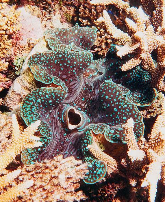 Giant Clams of the Great Barrier Reef