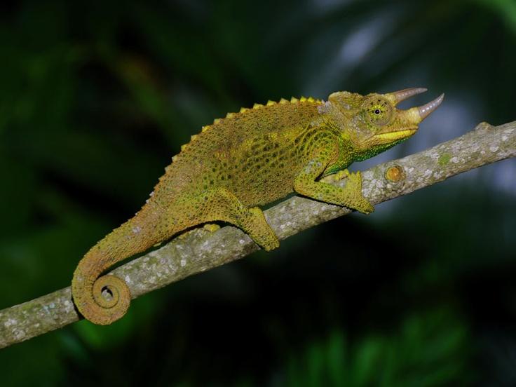 17 Best images about Chameleon Species on Pinterest ...