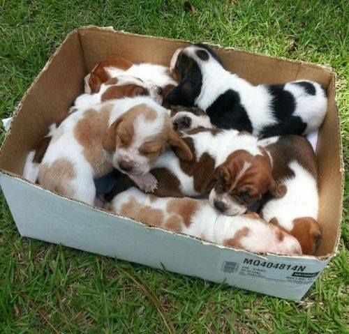 Did somebody order a box of awwwwwww??  Baby bassets!!