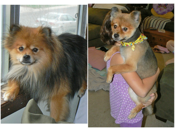 pomeranian with no hair before after hair cut pomeranian us hair cuts before 6135