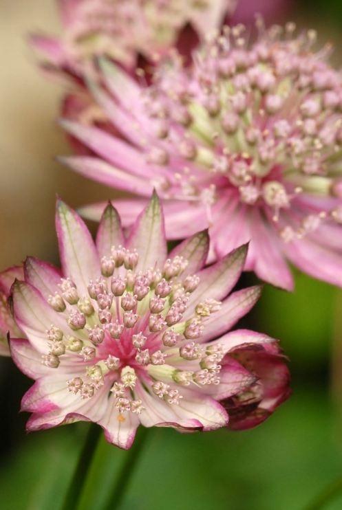 Astrantia, a summer flower,