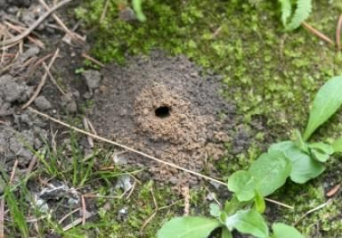Ground Bees Are Good! Why You Shouldn't Be So Quick to Kill Them: A ground bee nest looks similar to an anthill, but with a larger opening.