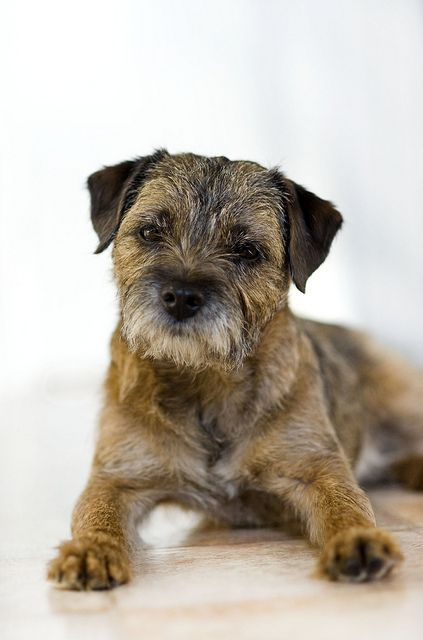 border terrier...  He probably can read and wite...