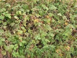 wild blackberry plants - Google Search