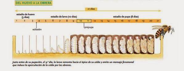 La Familia de la Apicultura - The Beekeeping of Family: Ciclo biológico de los integrantes de la colmena - Life history of the members of the hive.