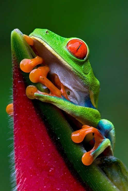 """""""Red Eye"""" ~ Red Eyed Tree Frog, Central America ~byEmanuele Castronovoon 500px"""