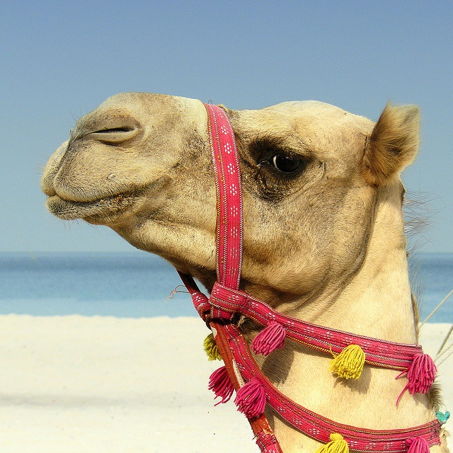 I love camels almost as much as pandas. Hello CUTIE!