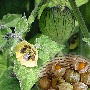 Physalis peruviana: Ananaskers  Draagt gele vruchten ter grootte van een kers met een smaak tussen kiwi en ananas. Na de oogst kunnen takken gedroogd worden om in droogboeketten te gebruiken.