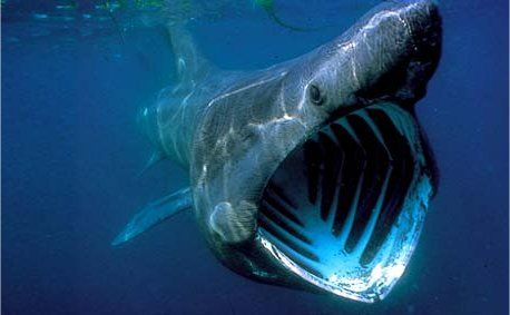 17 best images about big mouth shark on pinterest mouths for Big mouth fish