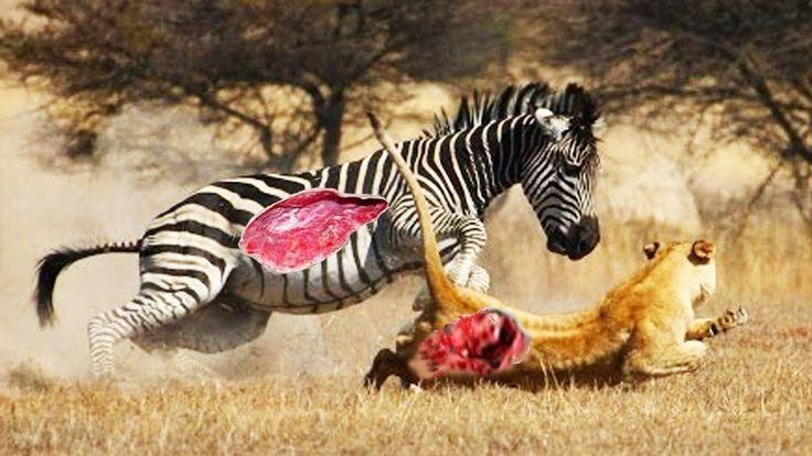 CRAZIEST Animal Fights Caught On Camera #8   Lion vs Zebra vs Eagle vs F...