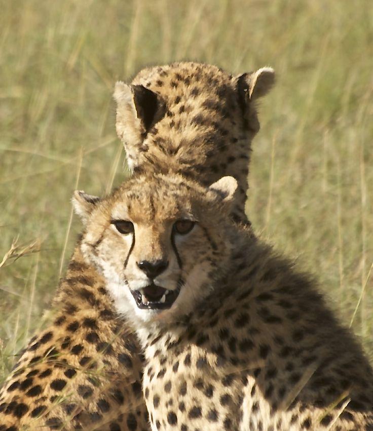 Geopard fra Masai Mara, Kenya