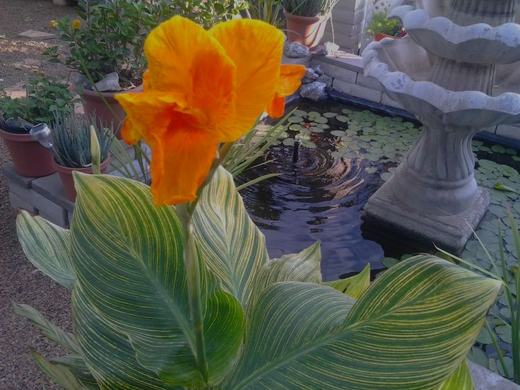 canna lily | Canna Lily is my # 9 in the top Ten heat resistant plants | Tj's ...