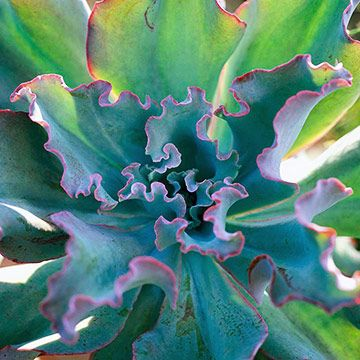 Echeveria is a rosette-forming succulent that adapts well to trough gardens. Numerous species and varieties are available. Most have bluish green foliage, but some are flushed with red or purple.