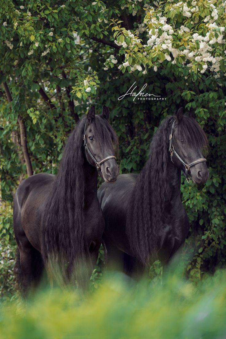Zwei Friesen stehen vor grünemBaum | Pferd | Bilder | Foto | Fotografie | Fotoshooting | Pferdefotografie | Pferdefotograf | Ideen | Inspiration | Pf…