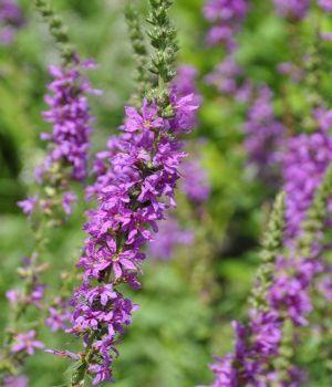 Names of purple flowers mightylinksfo