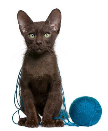 cat pictures dark brownbrown cathavana