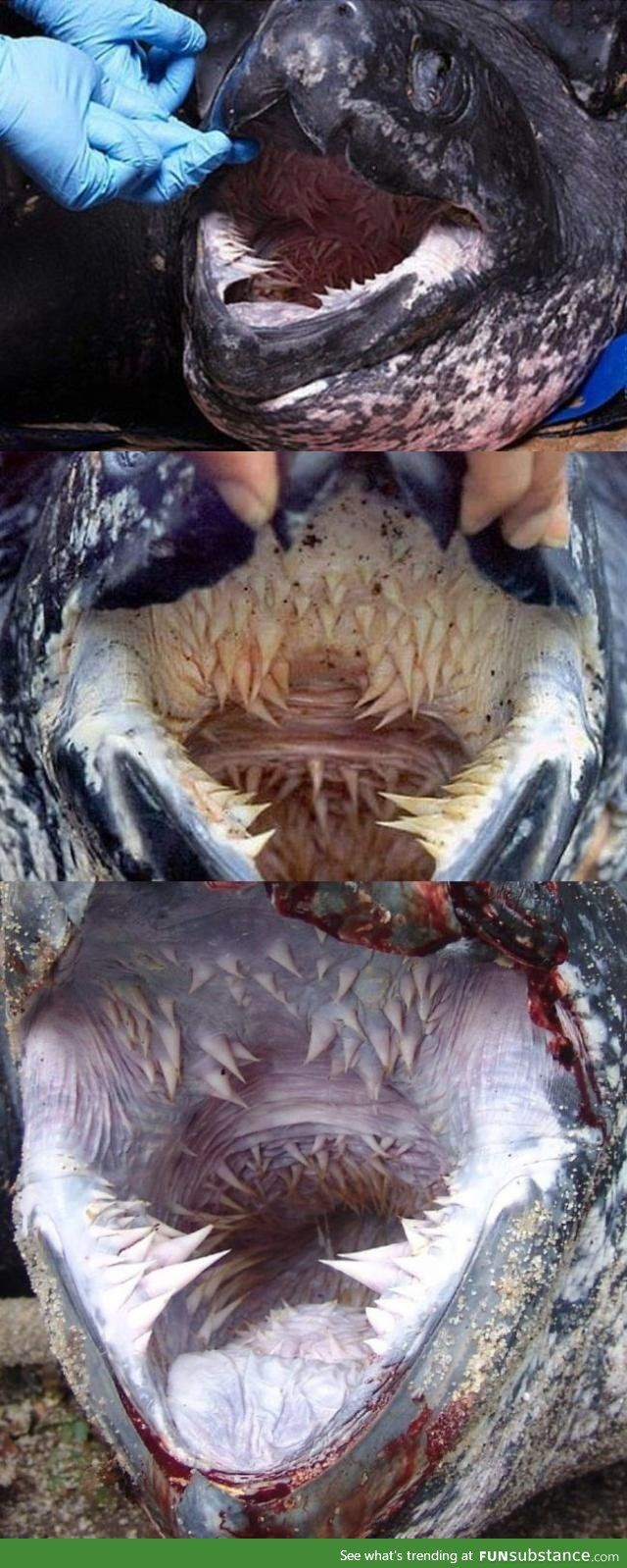 Esophagus of Leatherback turtles showing backward pointing spikes. Adult leatherback sea turtles subsist almost entirely on jellyfish. Jellyfish are pretty slippery, you see, and the razor-sharp rows of papillae prevent them from slipping out of the turtle's mouth.