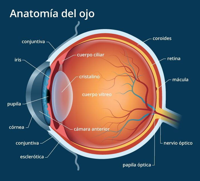 Anatomia Del Ojo Humano Explicacion De Las Partes Del Ojo Anatomia Del Ojo Anatomia Anatomia Ocular