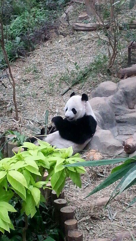 Visit giant panda in River Safari, Singapore