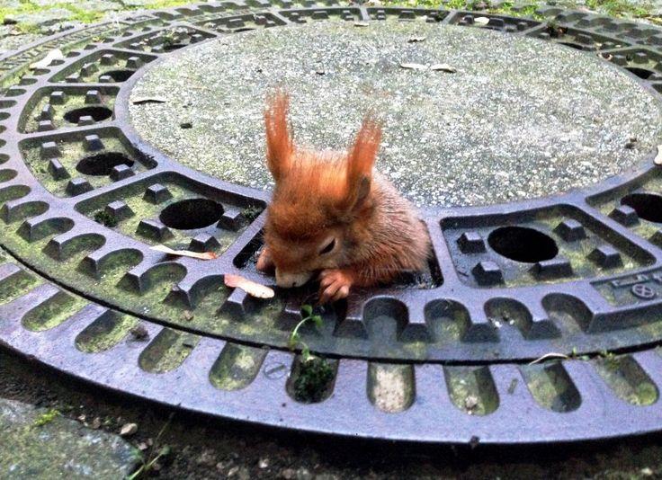 Tier macht Sachen: Eichhörnchen bleibt in Gully stecken - SPIEGEL ONLINE - Panorama