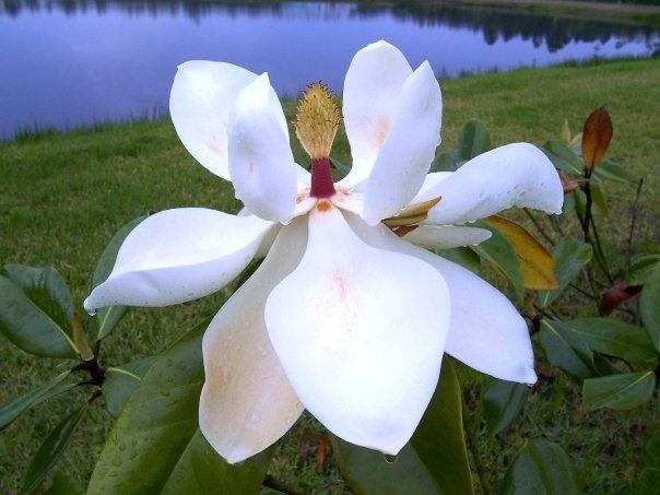 Magnolia-St. Augustine