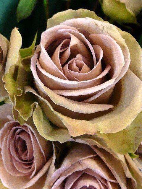 rosas velhas