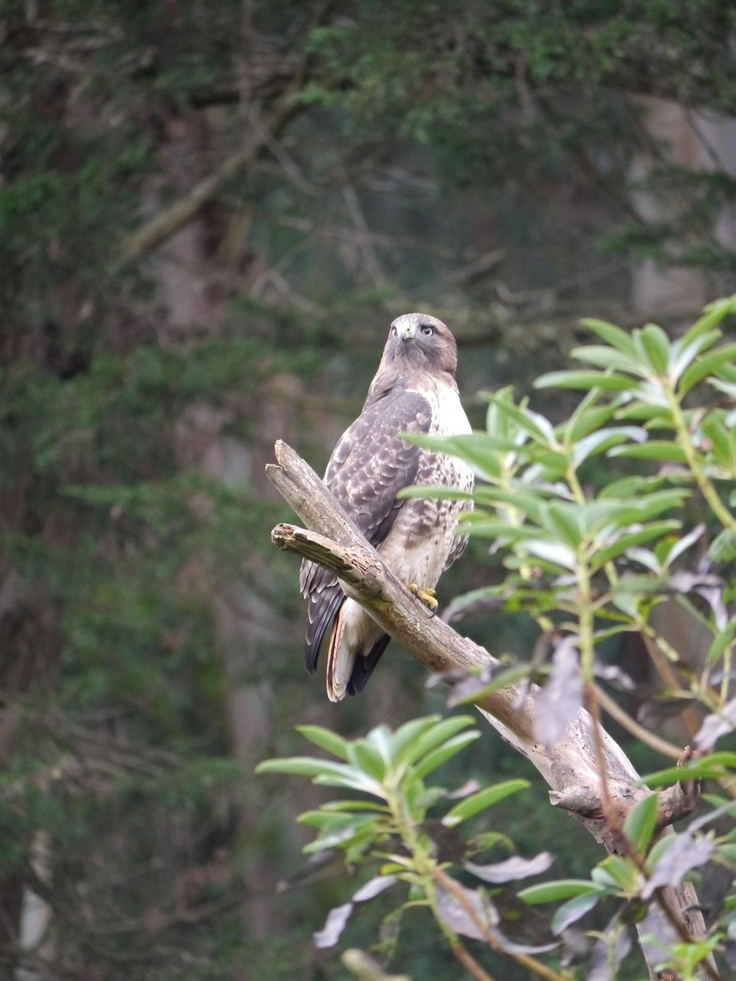 Red tailed hawk, The Fiance just got a whole bunch of photos.