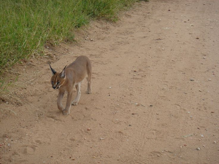 Early morning walk with the Caracal.