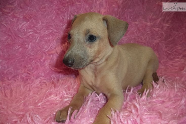 Italian Greyhound puppy for sale near Springfield, Missouri | 8a9941df-3601