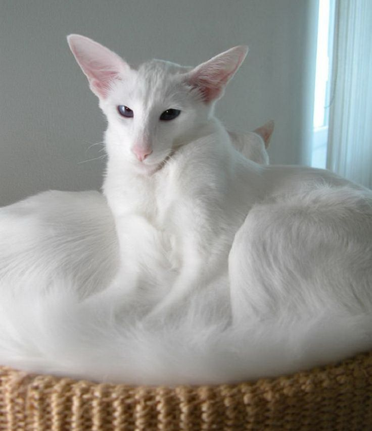 Javanese and Balinese - Affectionate Cat Breeds
