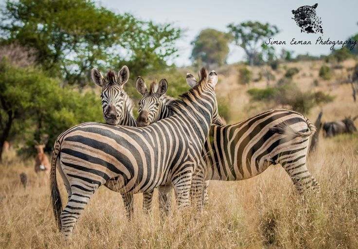 Really nice picture I took of some Zebras playing together in Kruger. It was a hot day and they were in a nice open clearing close to a dam where they were probably heading to get a drink!  Leopards have an unique spot pattern and this will be the same for Zebras, each Zebra will have an unique stripe pattern!  #zebras #wildlife #wildlifephotography #nature #africa #kruger #conservation #safari
