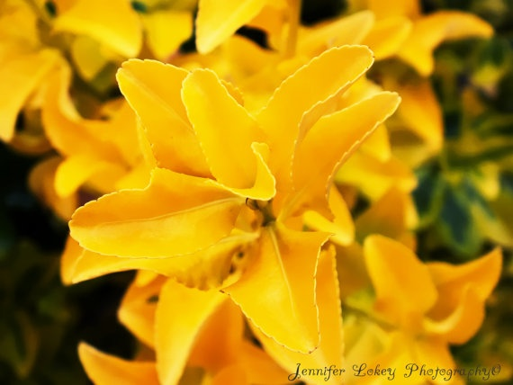 Yellow Nature Photography Print 5X7 Metallic by jlphotography5, $14.00